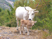 Cow and calf. In the countryside, Italy Stock Photography