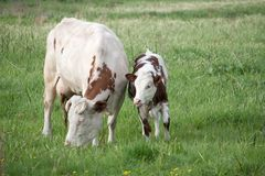 cow and calf Stock Images