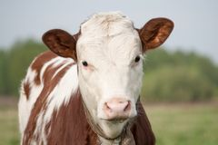 Cow calf Royalty Free Stock Image
