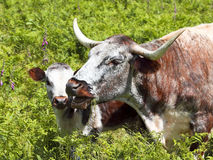 Cow and calf 2 Stock Photography