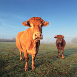 Cow and calf. Brown cow and calf in morning light Stock Photography