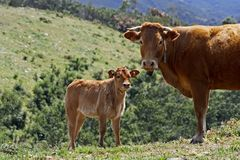 Cow and calf. Cow with calf looking in the fields of Portugal Stock Image