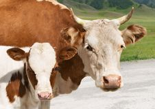 Cow with calf. Cow and calf on a dairy-farm Stock Photography