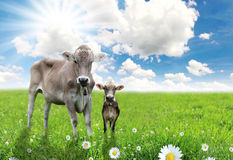 Cow with a calf. On a beautiful meadow Stock Image