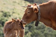 Cow with calf. In the fields in Portugal Stock Image