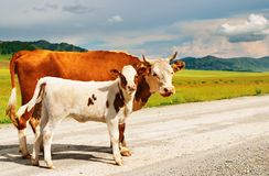 Cow and calf Royalty Free Stock Image