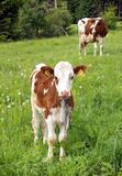 Cow and calf. Taking rest on the green meadow Stock Image