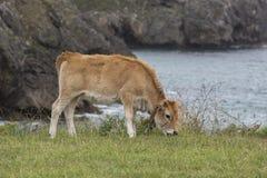 Cow Calf Asturian race Stock Image