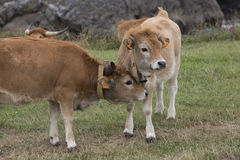 Cow Calf Asturian race Royalty Free Stock Images