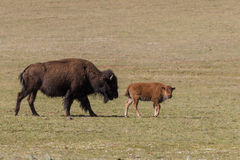 Cow and Calf Bison Royalty Free Stock Photos