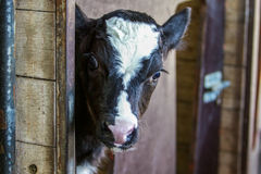 Cow calf Stock Photography