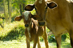 Cow and calf. Brown cow and calf together staring the camera Stock Photo