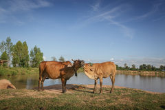 Cow and calf care. On the  reservoir background Stock Photo