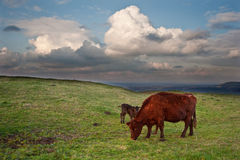 Cow and calf in countryside landscape Stock Photography
