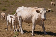 A cow and calf. On the pasture royalty free stock photo