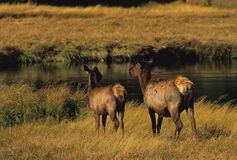 Cow and Calf Elk Royalty Free Stock Photo