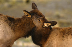 Cow and Calf Elk Affection Stock Photography