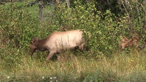 Cow and Calf Elk Grazing stock video footage