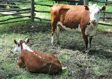 Cow and calf on the farm Royalty Free Stock Photography