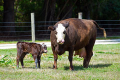 Cow with Calf Stock Images