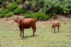 Cow and calf. A female longhorn cow with her calf Royalty Free Stock Image