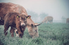 Cow and calf in a field Stock Photography