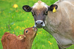 Cow and calf. In a field stock photography