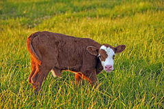 Cow calf in field Stock Photo