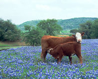 Cow Calf in Field Blue Bonnets. Cow Nursing Calf in a Field of Blue Bonnets Royalty Free Stock Images