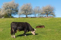 Cow and calf in the field Stock Images