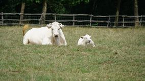 Cow and calf on a field Royalty Free Stock Images