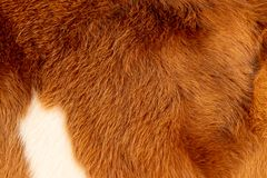 Cow calf fur, hair, brown white and golden royalty free illustration