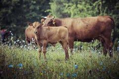 Cow with calf in the grass, Suwalszczyzna, Poland. Stock Photo