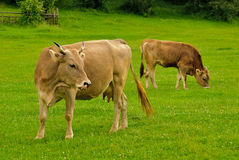 Cow and calf graze Stock Photos