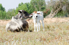 Cow and calf. Graze in a field Royalty Free Stock Image