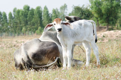 Cow and calf. Graze in a field Stock Images