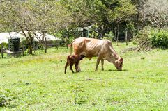 Momma Cow and Calf. Cow with calf grazing in the field Stock Photo