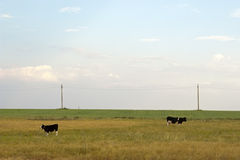 Cow and calf grazing in the meadow Stock Photo
