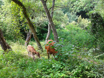 Cow and calf in a green summer forest. Cow and calf graze the grass in the green summer forest Stock Photography