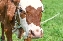 Free Cow Calf Head And Nose On Green Grass Background Stock Image - 162050521