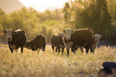 Cow & Calf Herd - Free Roaming by Salt River, Arizona. Cow Herd - Free roaming in morning glow, right by Salt River, in Arizona Royalty Free Stock Photo