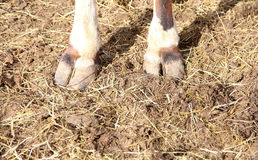 Cow calf hooves standing in straw pasture Royalty Free Stock Image