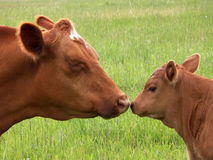 Cow and calf kiss Stock Photography