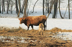 Cow and calf Royalty Free Stock Photos