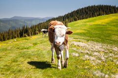 Cow Calf Loitering on Green Pasture Meadow Royalty Free Stock Photos