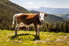 Cow Calf Loitering on Green Pasture Meadow Stock Photography
