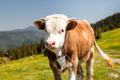 Cow Calf Loitering on Green Pasture Meadow Stock Images