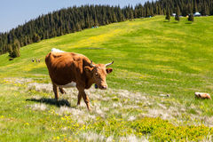 Cow Calf Loitering on Green Pasture Meadow Royalty Free Stock Images