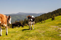Cow Calf Loitering on Green Pasture Meadow Royalty Free Stock Photo