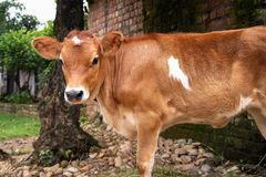 Cow Calf looking and standing stock photo
